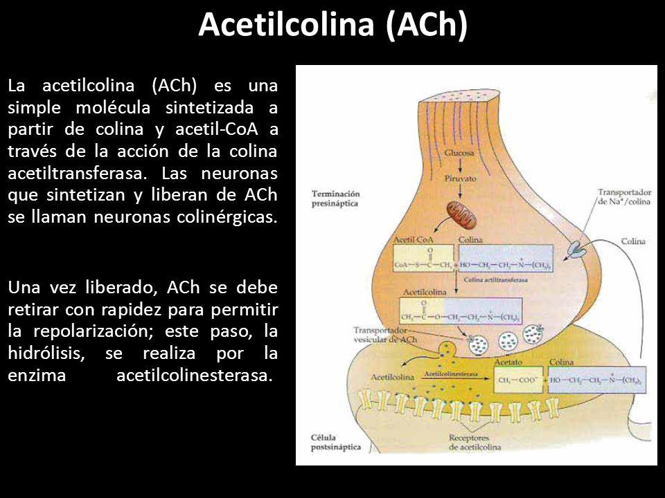 Resultado de imagen de Acetilcolina (ACh)