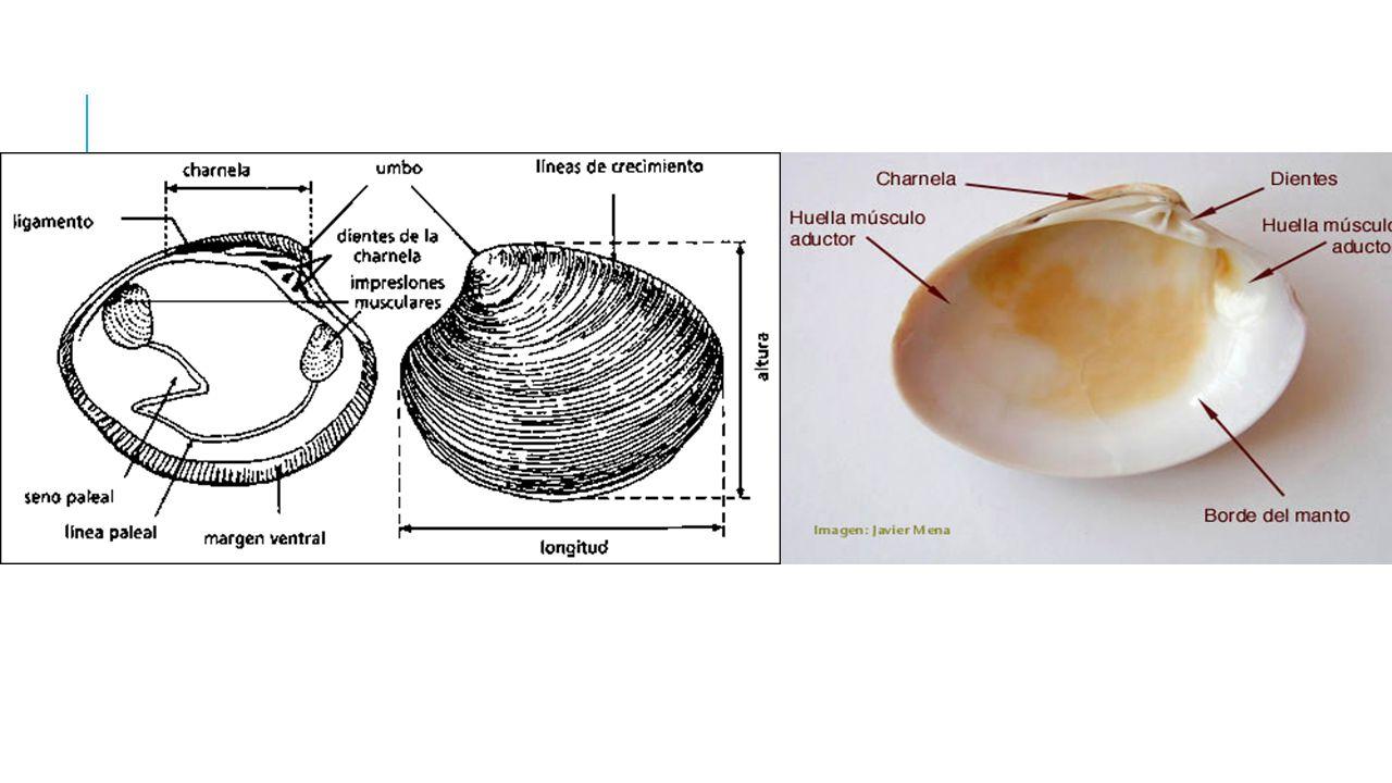 Biología básica de los bivalvos: taxonomía, anatomía y ciclo vital ...
