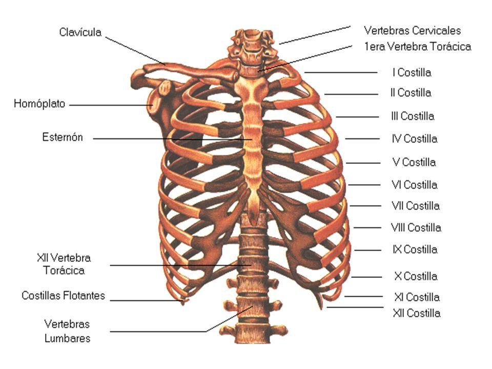 Sistema Esquelético El cuerpo humano es una complicada estructura de ...