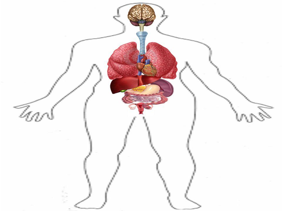 Órganos Del Cuerpo Humano. - ppt descargar