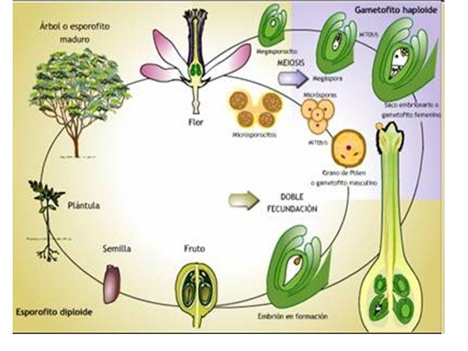 Reproduccion de las plantas asexualmente wikipedia