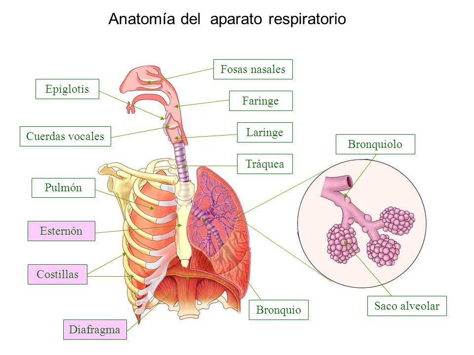 Anatomía del aparato respiratorio Faringe Fosas nasales Laringe Saco ...