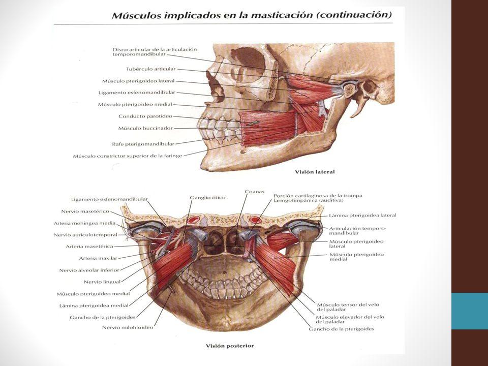 Fundamentos de Anatomía - ppt descargar