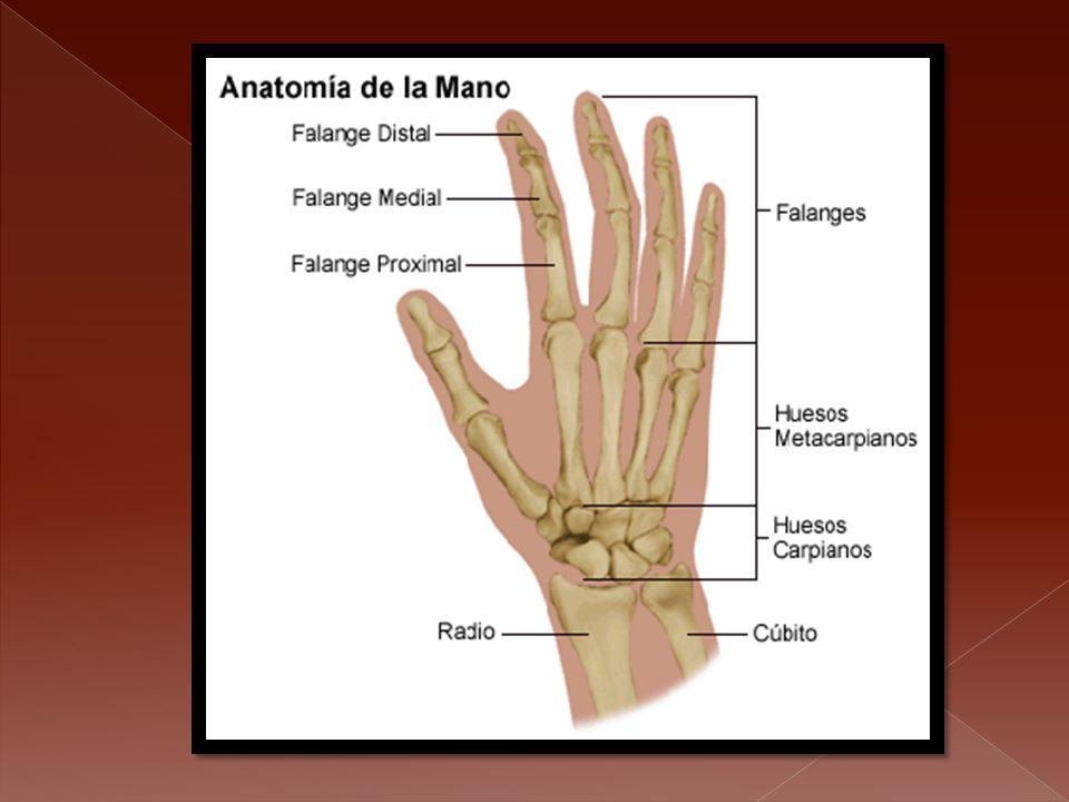 Cúbito, radio Y huesos de la mano - ppt descargar