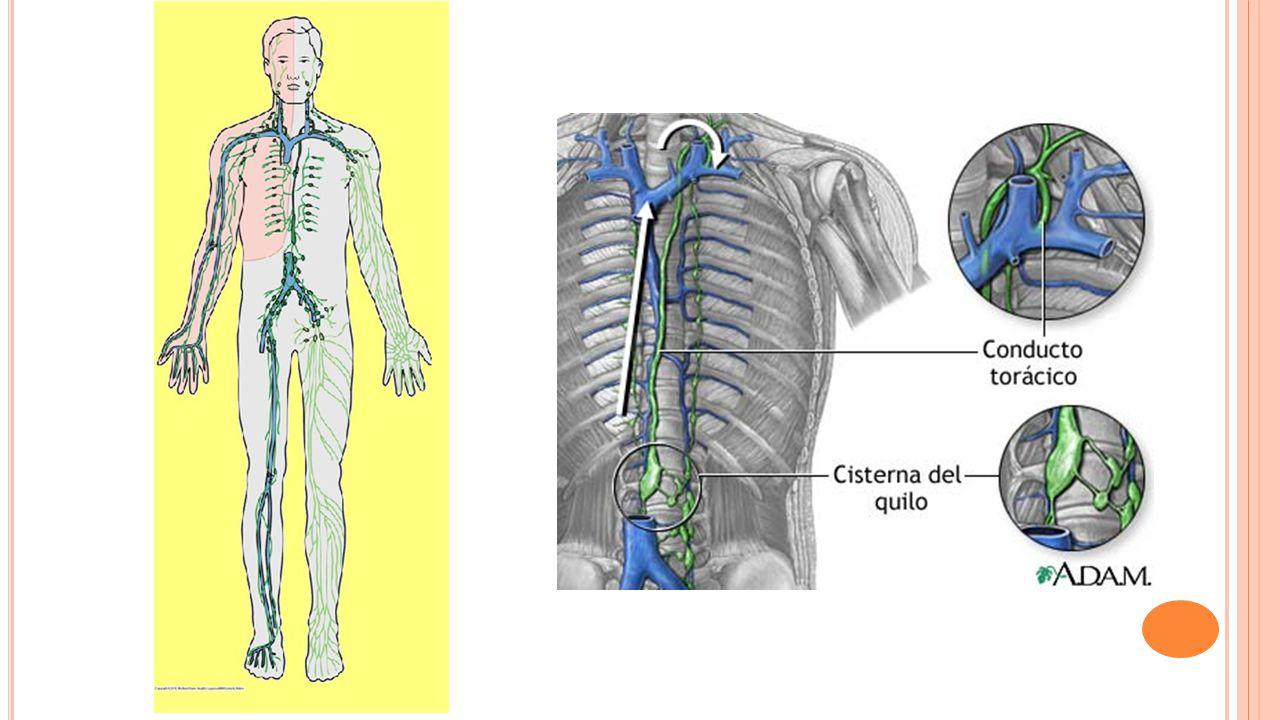 Sistema linfático. - ppt video online descargar