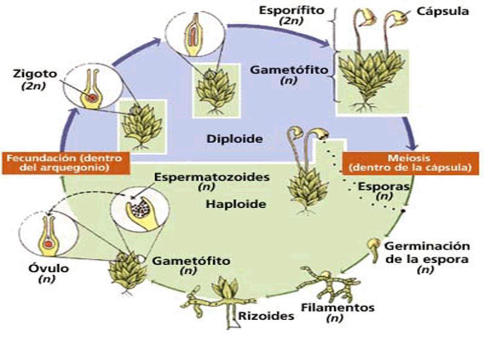 Briofitas Las Briófitas Plantas Celulares Que Forman Una Alfombra Verde Plantas De Transición Entre Las Criptógamas Y Las Plantas Vasculares Se Caracterizan Ppt Descargar
