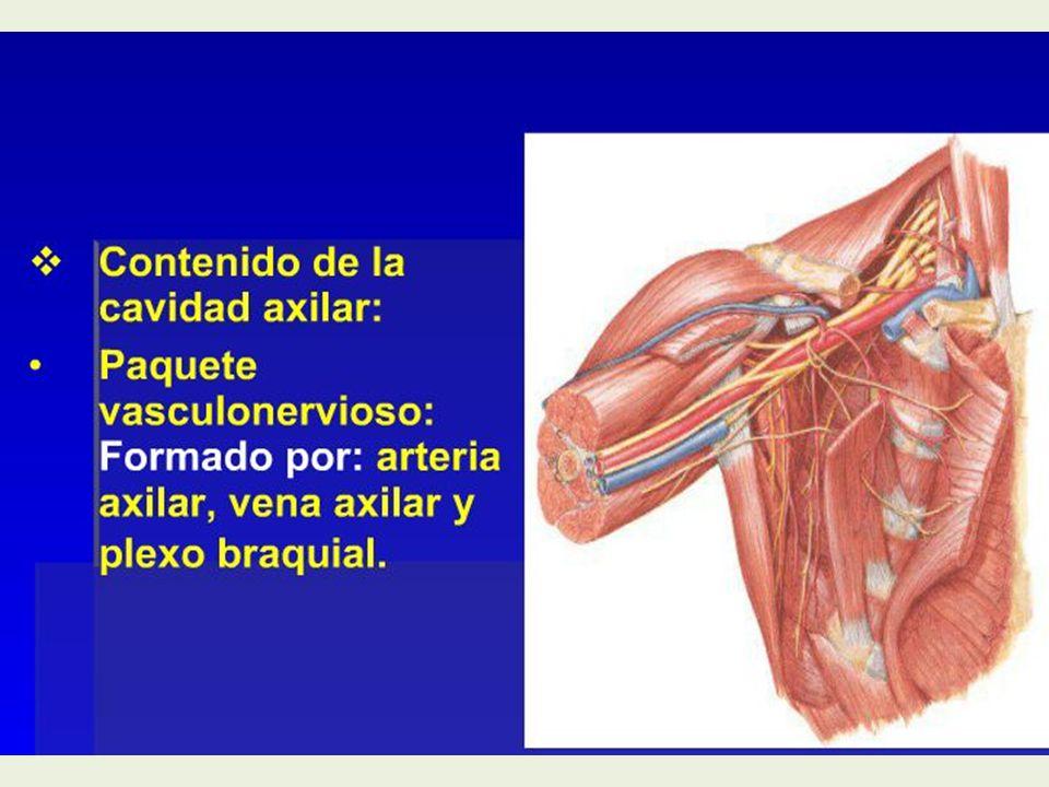 Magnífico La Anatomía De La Vena Axilar Imagen - Imágenes de ...