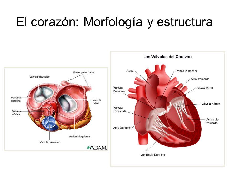Bonito Estructura De Lengüeta Anatomía Elaboración - Anatomía de Las ...