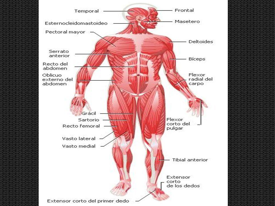 El Sistema Muscular. El Sistema Muscular SISTEMA MUSCULAR DEL CUERPO ...