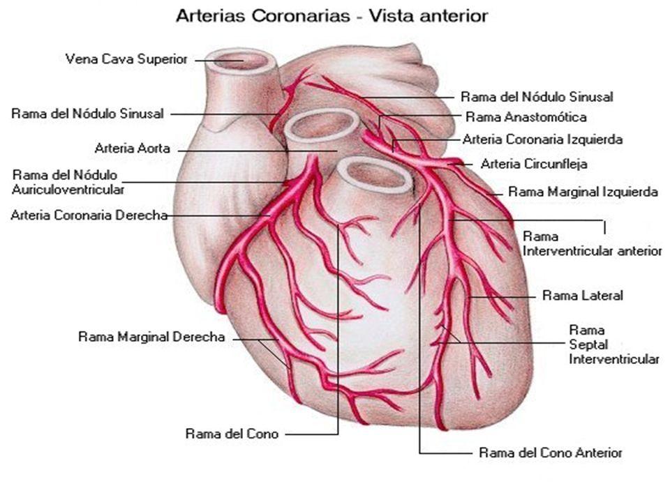 Anatomía del corazón. - ppt descargar