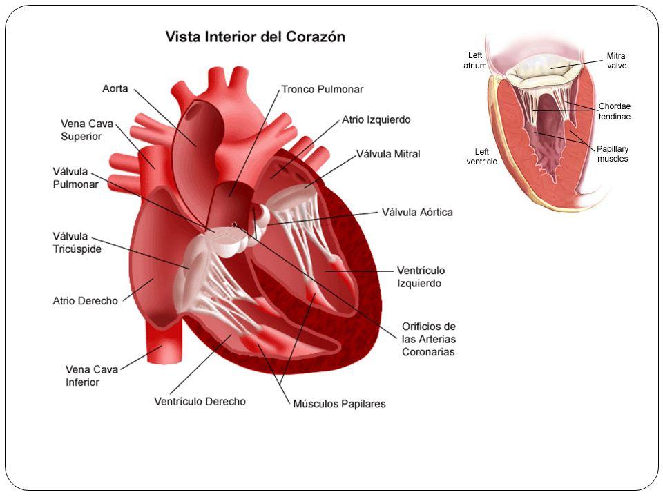 El Corazón El corazón. - ppt descargar