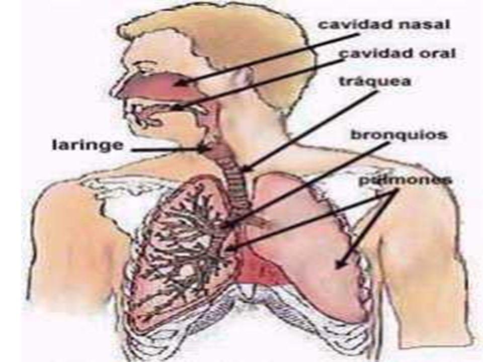 Aparato respiratorio El aparato respiratorio o tracto respiratorio ...