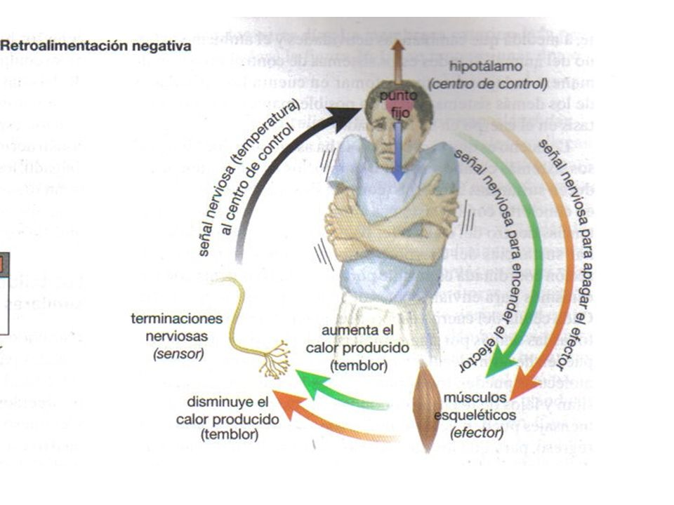 Homeostasis - Regulación de la temperatura corporal - ppt video ...