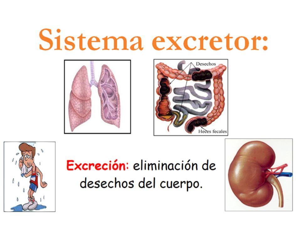 Sistema renal y anatomía del riñón - ppt video online descargar