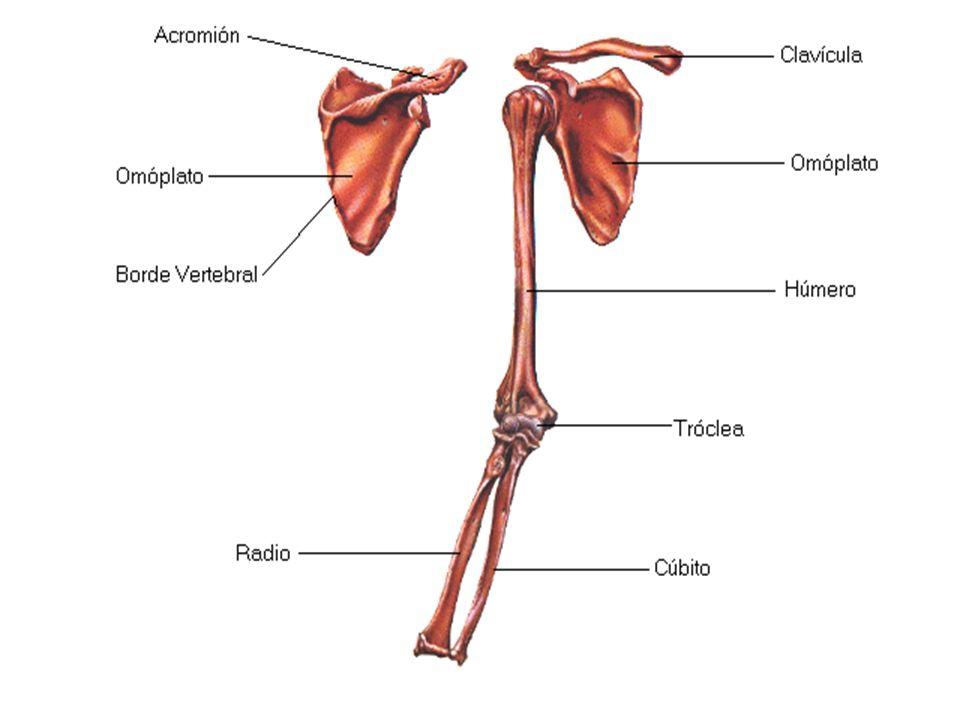 Huesos del tronco La clavícula y el omóplato, que sirven para el ...