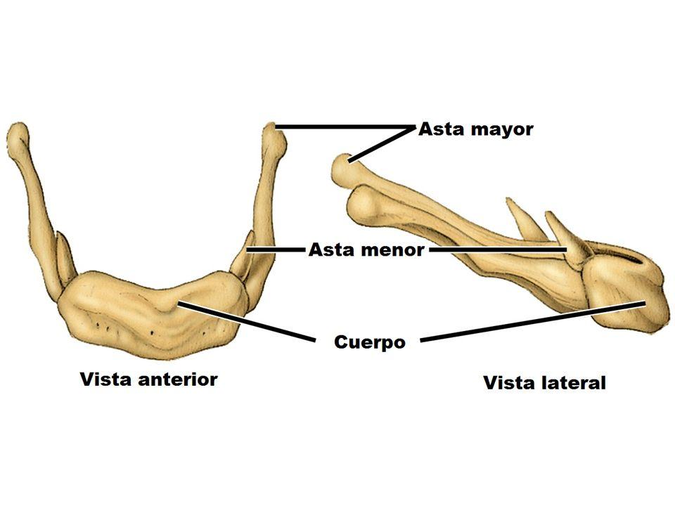 Funciones Sostén mecánico Otorga la morfología corporal ...