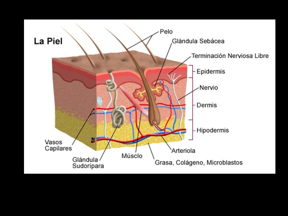 Sistema tegumentario Capas de la piel (con estructuras) - ppt descargar