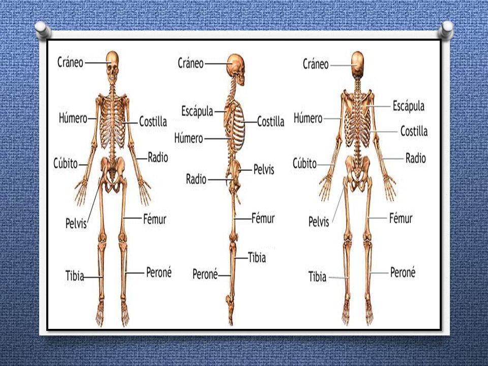 EL SISTEMA ÓSEO Conjunto de estructuras rígidas (huesos) que se unen ...