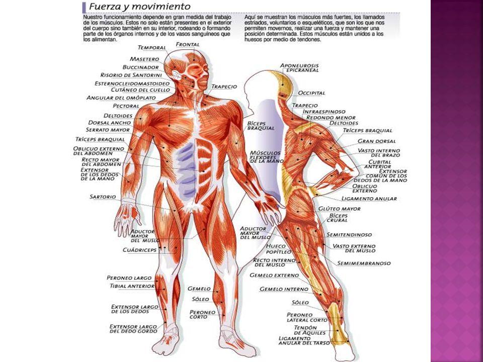 Sistema Muscular Colegio ROBERT FRANCIS KENNEDY - ppt video online ...