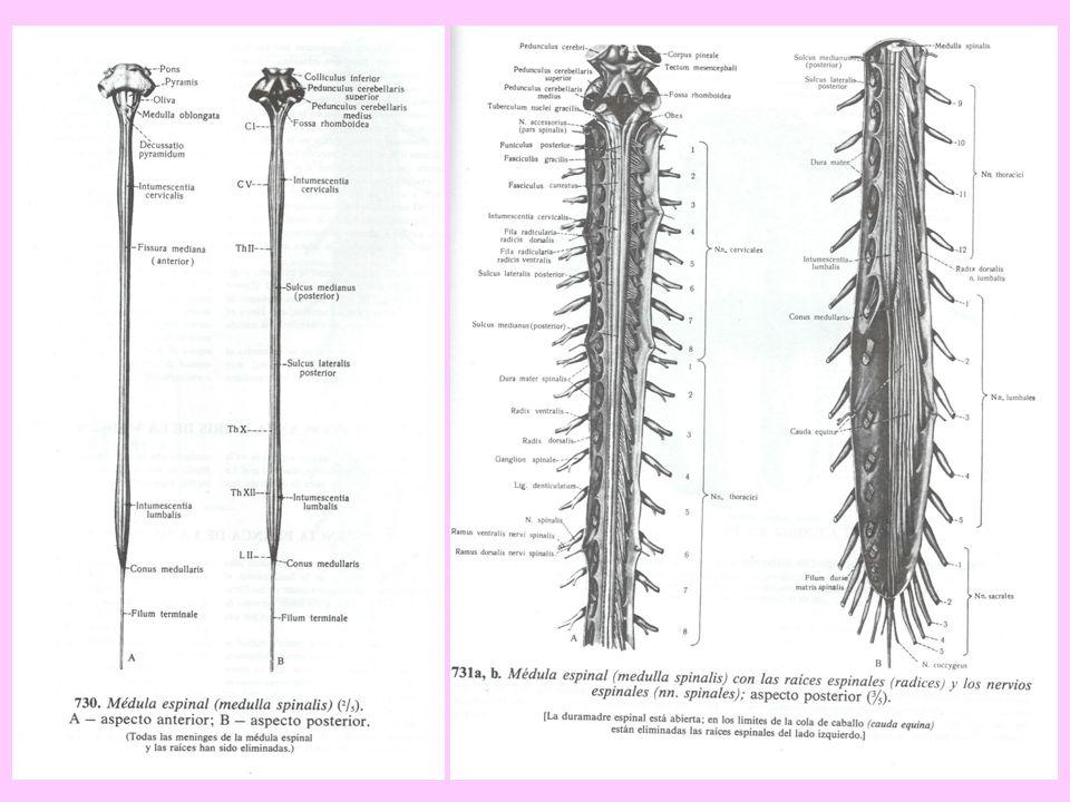 Médula espinal Situación, extensión. Configuración externa e interna ...