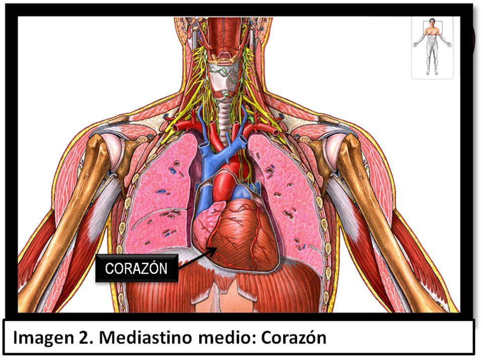 Hermosa Ubicación Del Corazón En Diagrama De Cuerpo Festooning ...