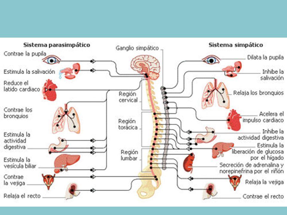 Nervios, hormonas y homeostasis - ppt video online descargar
