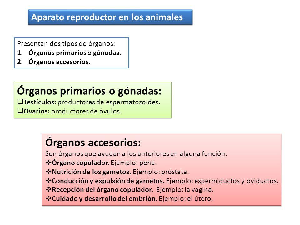 tipos de organos copuladores