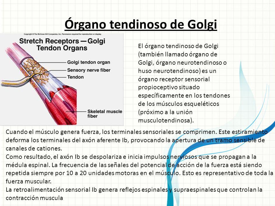 N EURONAS SENSORIALES DE LA PIEL Alumno: Gustavo A. Reyes L Profesor ...