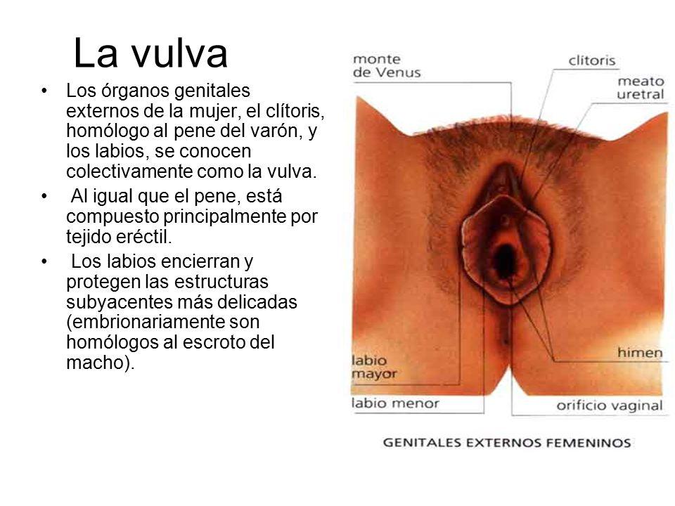 El sistema reproductor femenino. ¿ Qué estructuras conforman el Sist ...
