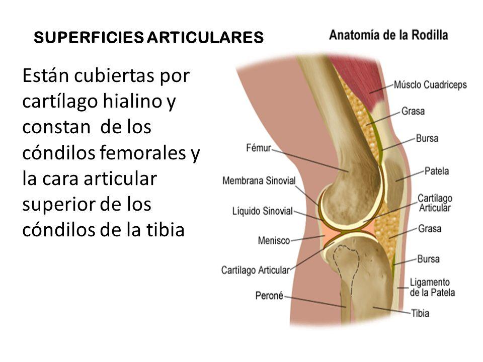 La articulación dela rodilla se forma entre el fémur y la tibia, con ...