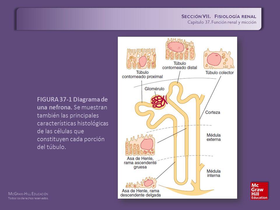 S ECCIÓN VII. F ISIOLOGÍA RENAL Capítulo 37. Función renal y micción ...