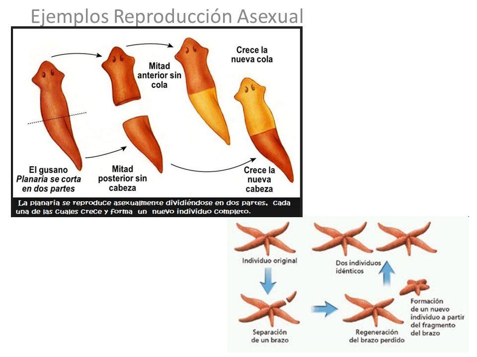 Reproducion asexual regeneracion
