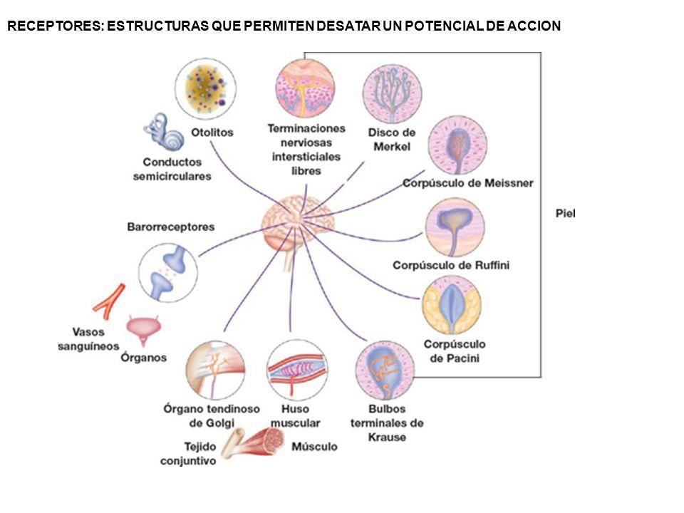 Fisiología de las Células excitables. Potenciales de acción en ...