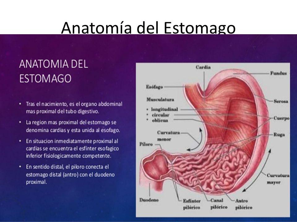 Anatomía del Estomago. - ppt descargar
