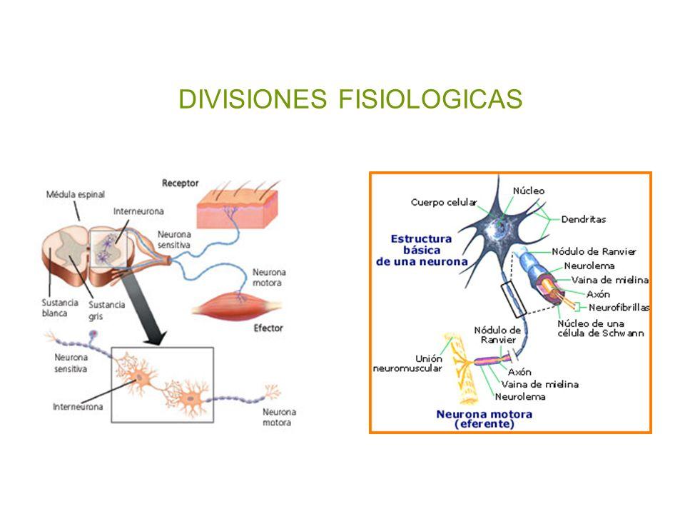 ANATOMIA Y FISIOLOGIA NEUROLOGICA Y COMA Preparada por: L. Méndez ...