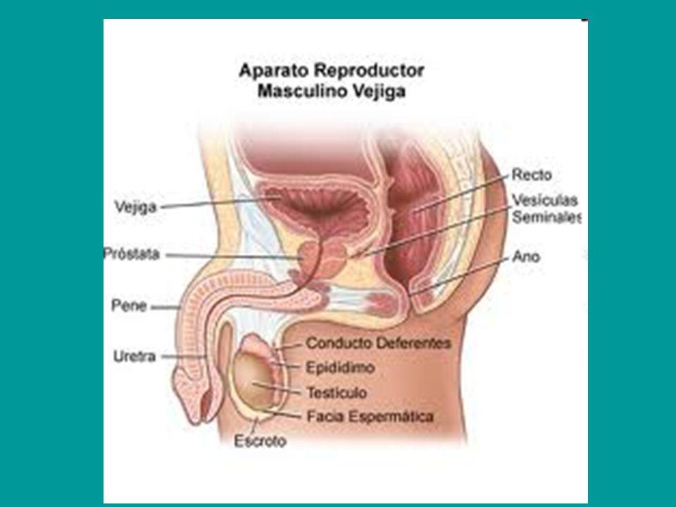 REPRODUCCION HUMANA. Órganos reproductores femeninos. - ppt descargar
