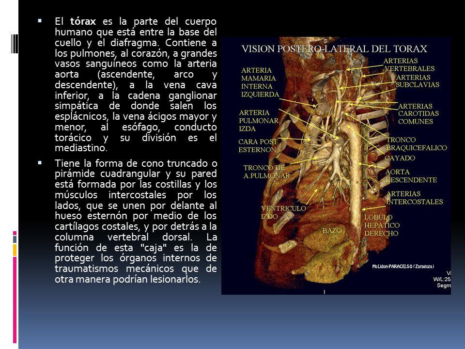 En anatomía, el cuello es la parte más estrecha del cuerpo que une ...