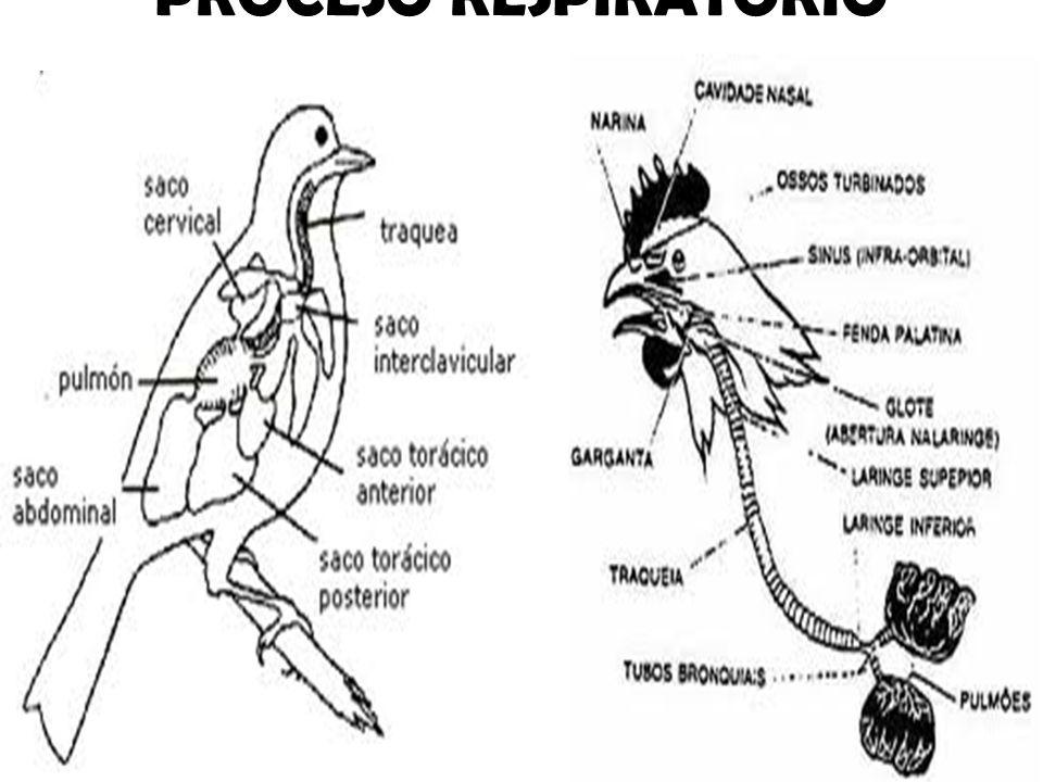 Anatomía Del Aparato Respiratorio En Aves Objetivo Inhalar