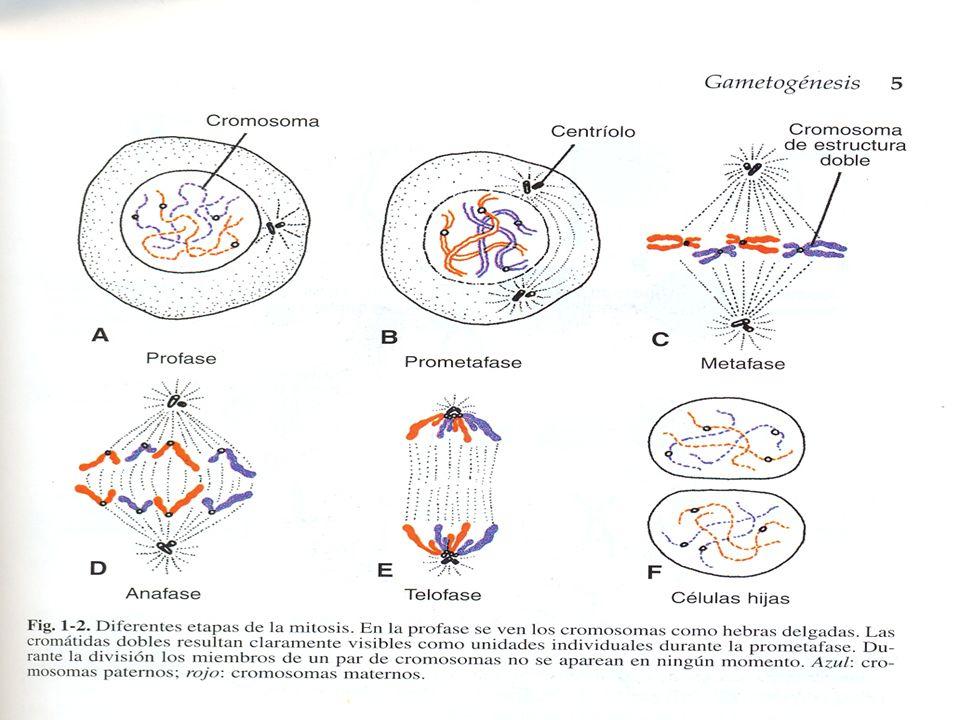 Meiosis Forma De Maduración De Células Germinales Células