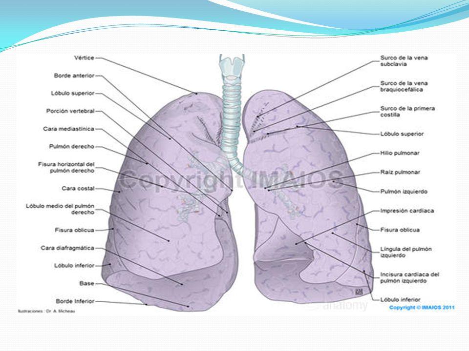 Atractivo Anatomía De Los Pulmones De Vídeo Molde - Imágenes de ...