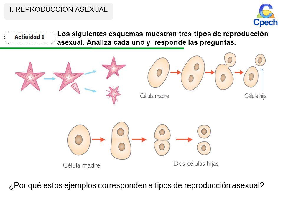 Los tipos de reproduccion asexual ejemplos