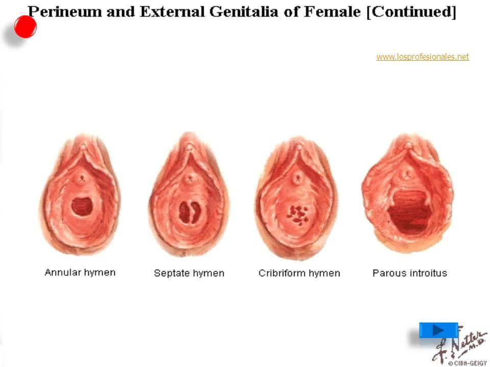Anatomía Aparato Genital Femenino - ppt descargar
