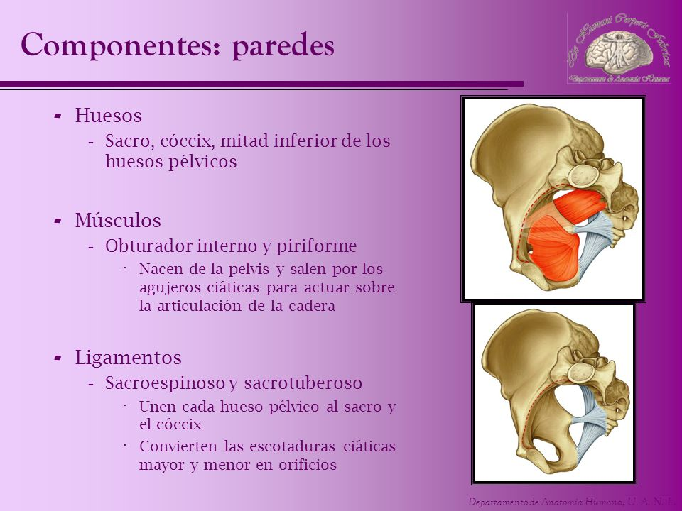 Atractivo Músculos De La Pelvis Anatomía Galería - Anatomía de Las ...