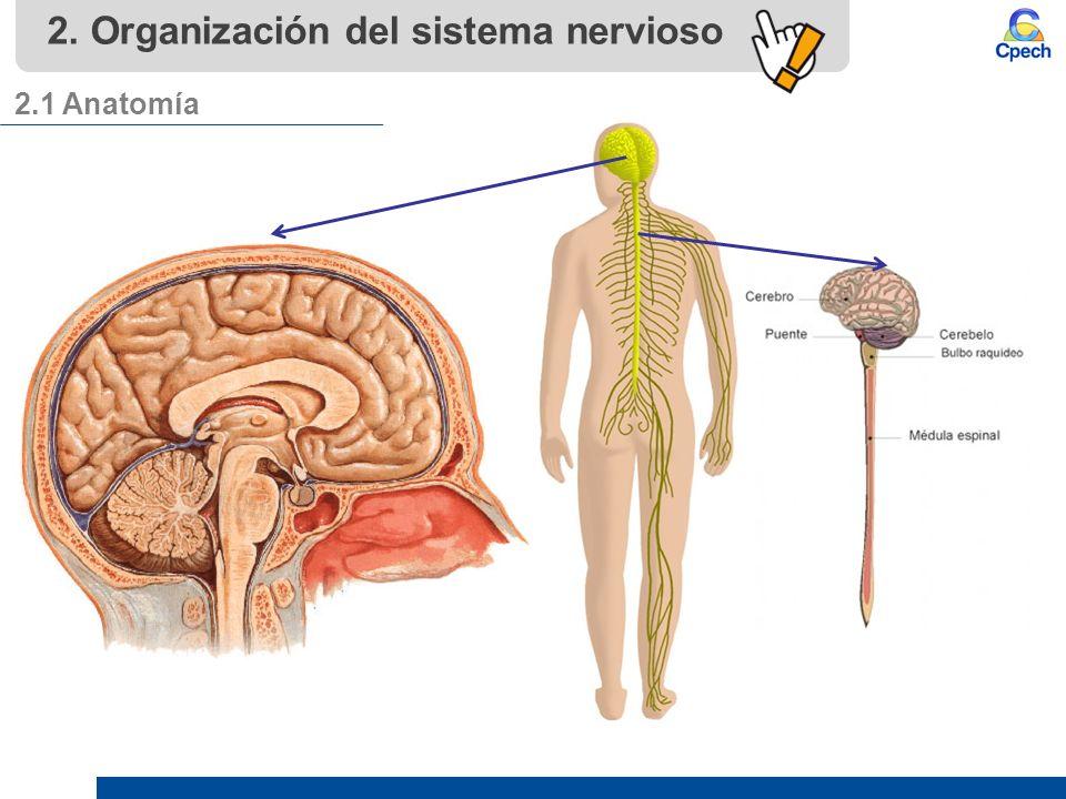 PPTCEL003BL11-A16V1 Clase Organización del sistema nervioso I. - ppt ...