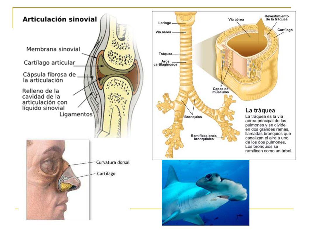 TECIDOS ANIMAIS Clasificación en función: morfoloxía cel ...