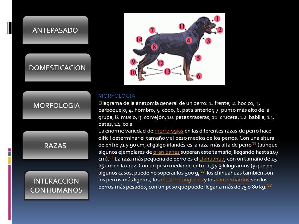 DOMESTICACION MORFOLOGIA RAZAS INTERACION CON HUMANOS ANTEPASADOS El ...