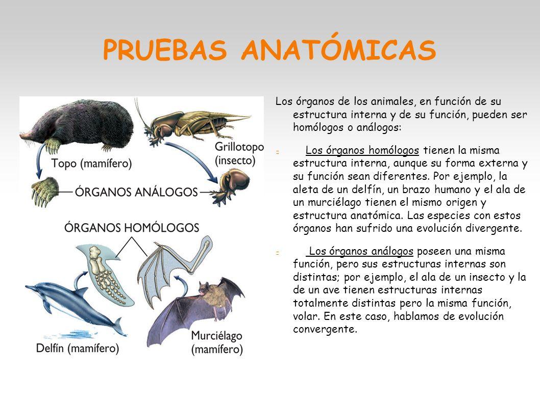 LA EVOLUCIÓN. PRUEBAS CLÁSICAS Anatómicas: Se basan en el estudio ...