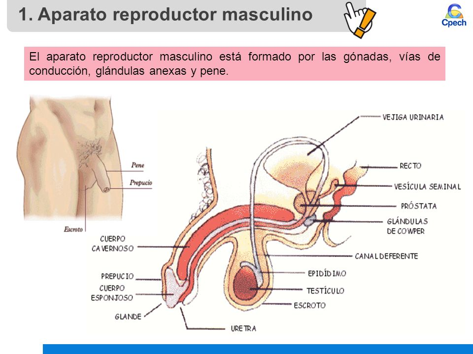 PPTCES008CB31-A16V1 Clase Aparato reproductor masculino, hormonas y ...