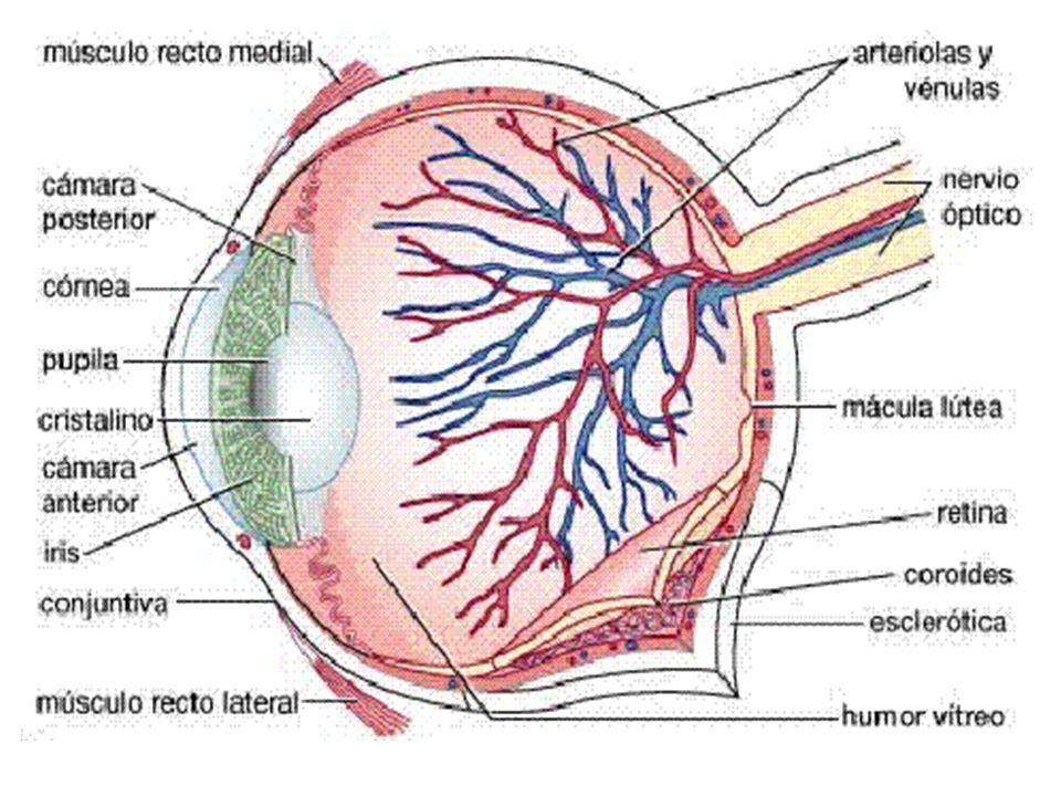 El ojo. Componentes del ojo El líquido en interior conserva su forma ...