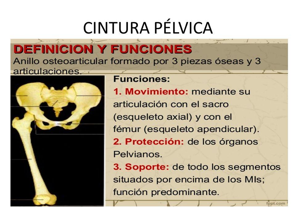 CINTURA PÉLVICA. Cóccix Es un hueso irregular formado por 4 ...